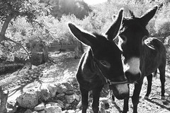 Burro de Tramuntana (Digital Projects - Photo) Tags: burro alaro ase vision:mountain=0791 vision:outdoor=0961 camidesestret