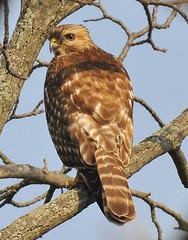 Juvenile Red-shouldered hawk (drweber82) Tags: bird nature nikon hawk nj raptor tamron juvenile 200500 redshouldered d300 avianexcellence