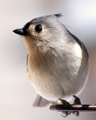 Bird - Tufted Titmouse Photo (blmiers2) Tags: light white ny newyork cute bird nature beautiful birds closeup geotagged grey