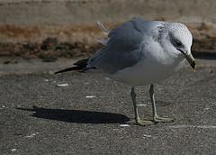 It's no use. (Five eyes) Tags: winter seagulls white lake cold bird feet race march sad gulls gray beak angry macatawa 0852 photofaceoffwinner march08 pfogold