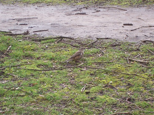 Song/Mistle(?) Thrush 1