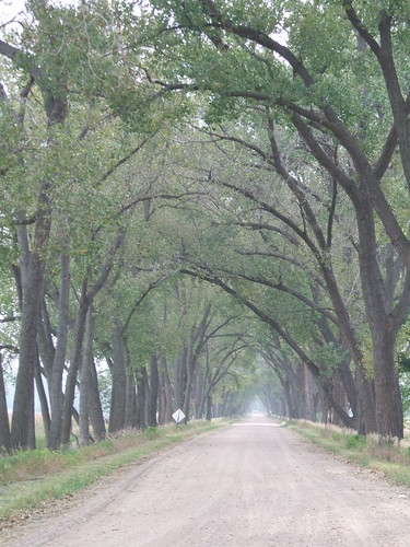 Cottonwoods arching over road on Willow Island, Dawson Co, NE