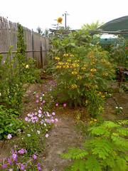 Caesalpinia gilliesii (bird of paradise bush)