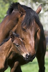 Maternal Care (Miskatonic) Tags: horse brown cute small mother fox protection maternal foal