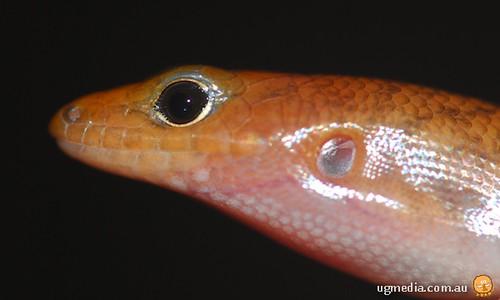 Narrow-banded sand-swimmer (Eremiascincus fasciolatus)