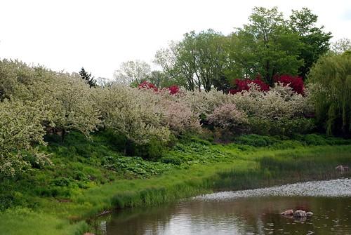 Spring trees in bloom 4