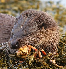 otter tucking into a crab breakfast (www.willdawesphotography.co.uk) Tags: crab will otter mull munch dawes naturesfinest specanimal golddragon anawesomeshot goldstaraward