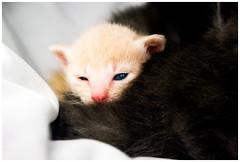 (hugodemaziere) Tags: cat chat pentax mimi petit mignon chaton aficionados smal demaziere k10d aficinonados