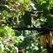 crimson rumped toucanet Ecuador September 2007 434