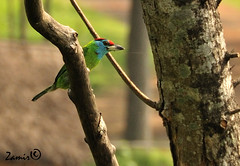 Blue-throated Barbet (Megalaima asiatica) (Z.Faisal) Tags: green bird nature nikon natural beak feathers aves nikkor bangladesh avian bipedal bangla faisal desh bluethroated d300 zamir asiatica barbet pakhi endothermic megalaima bluethroatedbarbet pabna nikkor18200mmvrii ishwardi zamiruddin zamiruddinfaisal zfaisal
