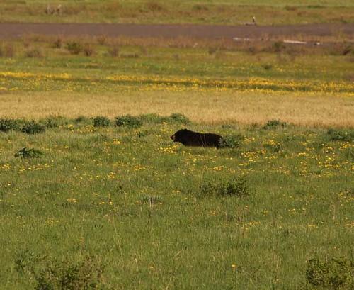 Yellowstone blackbear
