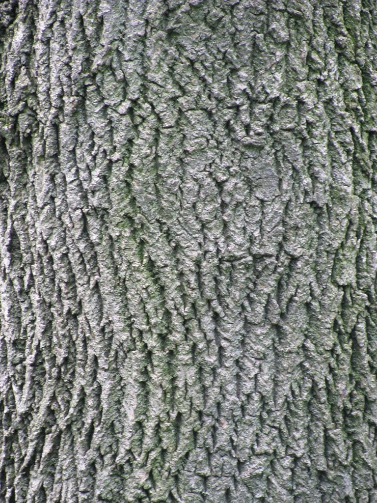 Tree Bark This Scientific Life - Norway maple bark