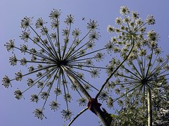 Giant Hogweed (Heracleum mantegazzianum) (sillie_R) Tags: