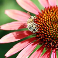 fuzzy bee (buzzygirl) Tags: pink plants flower petals bee daisy huntingtongardens macrolens 40d