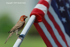 Happy Independence Day (CritterQueen) Tags: bird nature birds outdoors flag flags finch finches 4thofjuly independenceday housefinch godscreations songbirds naturelovers fouthofjuly bestshots northamericanbirds greatoutdoors housefinches backyardbirds ilovebirds top20birds birdsinbackyards backyardbirdwatching easternnorthamericanature impressedbeauty welovewildlife avianexcellence birdsphotos virginiawildlife earthtouch natureloversgroup anyanimalsoftheworld