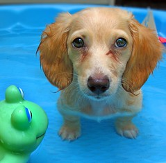 Redo of earlier photo (Doxieone) Tags: blue dog cute green english water pool puppy toy interestingness long cream dachshund frog explore honey final blonde haired pup1 coll 1002 longhaired final1 honeydog topfavorite supershot explored bej englishcream explore445 honeyset pup2011 pupsinpoolset