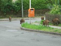 Wildschweine in unserer Straße