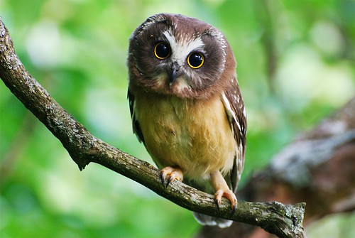 Northern Saw-whet owl von Mat and Amie