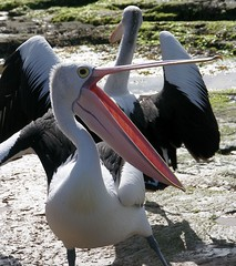 pelican boogie (Carmelo Aquilina) Tags: bird australia pelican newsouthwales ornithology soe theentrance