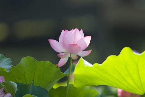 2560 :  : Lotus2008#1 -Grace-