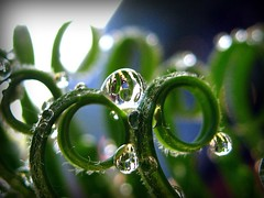 HBW !  number two................ (Kaos2) Tags: macro waterdrop explore refraction cycas sago hbw flickrfrontpage happybokehwednesday whoo2onexplore oksoits2dayslaterbutyeaanyway