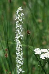 Rock Creek - Sierra Rein Orchid (3) (kimberzy) Tags: california wildflowers easternsierras convictlake