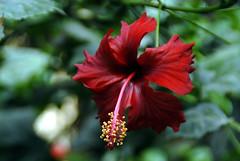 Red hair flower girl (aZ-Saudi) Tags: blue red plants flower green arabic hibiscus saudi arabia ksa alhasa goldenmix ✿ arabin theunforgettablepictures goldstaraward favouritecapture ِarabs