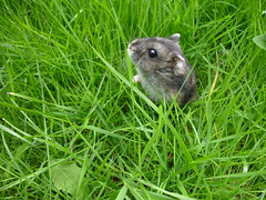 Russian Dwarf Hamster in the Garden (cdrussorusso) Tags: cute sweet dwarf small adorable hamster nano enano nain criceto  hmster keek dwerg  chomik cricetinae  estrangeirismo  trpasli