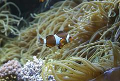 Ocanopolis (MathGon) Tags: fish anemone brest animaux poisson anmone bzh aquaticlife ocanopolis aquarieum