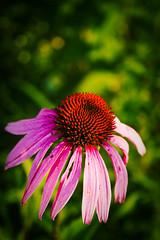 IMG_7745 (fadetoblack2104) Tags: fab flower macro missouri jeffersoncity midmissouri rungenaturecenter xti mywinners rebelxti canon400d fiveflickrfavs lightroom20