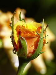 To you, Lavi (zio paperino) Tags: summer flower nature water rose geotagged drops italia blossom rosa natura panasonic explore agosto calabria italians fz50 ferragosto aplusphoto ziopaperino mygearandme mygearandmepremium mygearandmesilver mygearandmegold