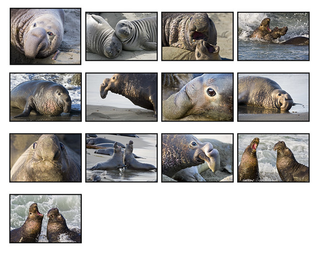 13 Elephant Seals 16x20 layout Mike Baird Click-Click Exhibit 2008 by mikebaird