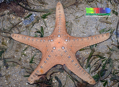 'Blondie' the unidentified sea star