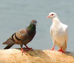 Siamese White Pigeon