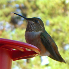 Hurry and take the picture, I'm Hungry! (mountainbeliever) Tags: nature beauty birds colorado colorful wildlife tiny hummingbirds durango mothernature fourcorners sanjuanmountains godscreatures birdsinaction