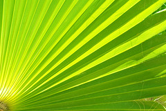 Put the sun back (Josep Ma. Rosell) Tags: life light summer plant verde green planta luz nature lines backlight contraluz hojas leaf colorful natura palm vida verano palmera verd llum estiu contrallum fulles linies