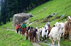 ..... that's a Gujjar kind of life (Monsoon Lover) Tags: india green nature forest sheep explore highland pasture nomad kashmir artcafe centralasian gujjar saarc golddragon sudipmonsoonlover goldstaraward sudipguharay globalworldawards bukkarwal whitehuna 26thaugustexplore228 artcafedomidoexhibitionscomein
