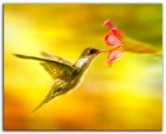 """ Link "" (Alfredo11) Tags: motion flores flower colour cute bird nature beautiful animal yellow speed luces nikon hummingbird little sb600 amarillo ave pajaro hummer rapido colibri flashes sb800 picaflor firstquality rapidez d2xs abigfave platinumphoto visiongroup ysplix damniwishidtakenthat goldenheartaward"