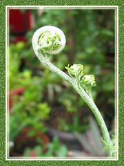 An unfurling frond of Dixie Silverback Fern (Pityrogramma calomelanos)