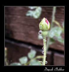 Rose bud and rain drops (Deepak Babbar) Tags: life red flower macro nature rose bud waterdrops earthasia pregamewinner
