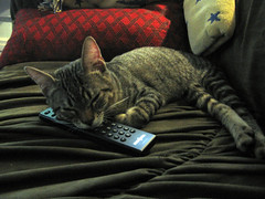 Calvin the cat sleeping on the remote control