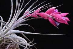 Tillandsia stricta - 2 (Luiz Filipe Varella - 50.000+ photos!) Tags: plants klein air tillandsia filipe luiz bromeliads bromélia varella stricta tillandsias