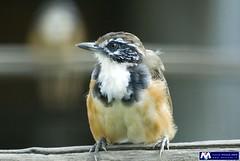 Ghiandaia (Maxfear ®) Tags: birds animals uccelli animali sticca ghiandaia maxfear