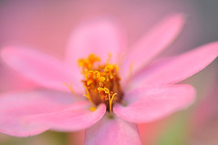 Pink Zinnia (naruo0720) Tags: pink plant flower macro nature closeup nikon bokeh d300 zinna supershot abigfave colorphotoaward impressedbeauty theunforgettablepictures goldstaraward excapturemacro rubyphotographer alemdagqualityonlyclub