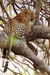 Leopard in tree (Arno Meintjes Wildlife) Tags: africa wallpaper nature animal southafrica bush wildlife safari leopard bigcat predator rsa krugernationalpark carnivore pantheraleo pantherapardus arnomeintjes vosplusbellesphotos