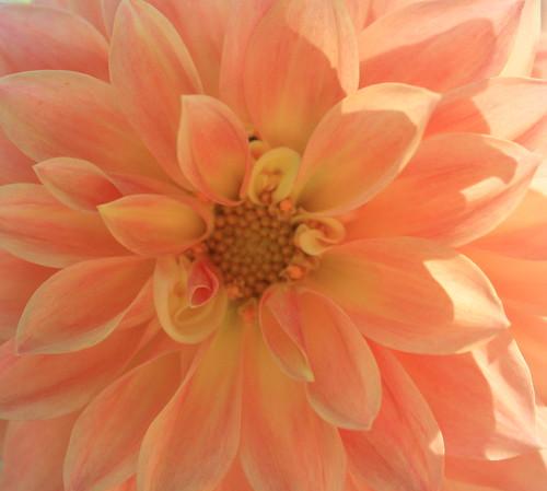 Orange with Pink Dahlia