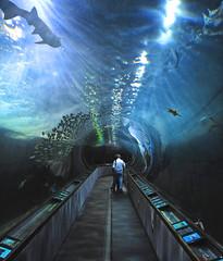 Aquarium of the Bay #66 (andertho) Tags: sf sanfrancisco delete10 delete9 delete5 delete2 guitar delete7 save3 delete8 scuba delete delete4 save save2 save4 fishermanswharf diver save5 save6 rb sfist aquariumofthebay