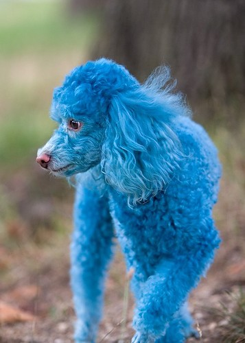 Blue Dyed Standard Poodle Animals Zoo Park: Pood...