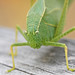 Katydids - Photo (c) Jerry Oldenettel, some rights reserved (CC BY-NC-SA)