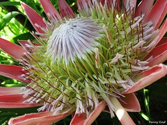 Protea cynaroides - King Protea - Closer view (pennyeast) Tags: pink wild plant flower macro nature southafrica botanical elgin plantae wildflower protea indigenous kingprotea fynbos southafrican cfr proteacynaroides proteaceae cynaroides nativetosouthafrica papaalphaecho
